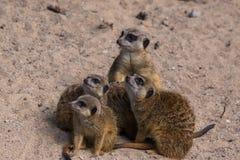 Famille de Meercat dans le zoo Images stock