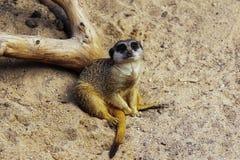Famille de Meercat dans le zoo Photos libres de droits