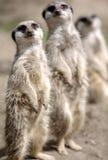 Famille de Meerkat images libres de droits