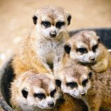 Famille de Meerkats Photos stock