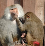 Famille de Monky photos stock