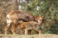 Famille de Mouflon Image libre de droits