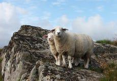 Famille de moutons Photo libre de droits