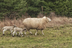 Famille de moutons Photo libre de droits
