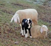 Famille de moutons avec la mère de père et le petit agneau Photos libres de droits