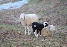 Famille de moutons avec la mère et l'agneau de père Photos stock