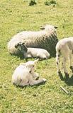 Famille de moutons naturelle Photo stock