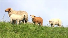 famille de moutons sur la digue banque de vidéos