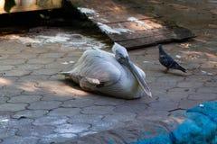 Famille de pélicans dans le zoo Photographie stock