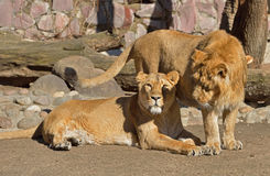 Famille de Panthera asiatique Leo Persica de lions Photo stock