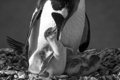 Famille de pingouin Images stock