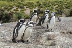 Famille de pingouin Images libres de droits