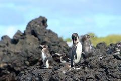 Famille de pingouin dans le sauvage, îles de Galapagos Photographie stock libre de droits