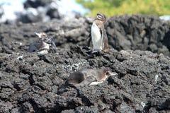 Famille de pingouin dans le sauvage, îles de Galapagos Image stock