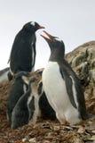 Famille de pingouin de Gentoo, Antarctique Photos libres de droits
