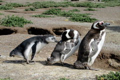 Famille de pingouin de Magellanic Images stock