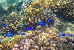 Famille de poissons bleue au néon en récif coralien Photo sous-marine d'habitant tropical de bord de la mer Photos libres de droits