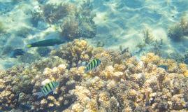 Famille de poissons de Dascillus dans le corail Photo sous-marine d'habitants tropicaux de bord de la mer Photo libre de droits