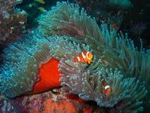 Famille de poissons tropicale de clown Photos libres de droits