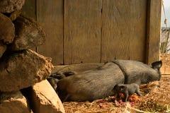 Famille de porc Image libre de droits