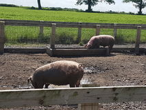 Famille de porc images stock