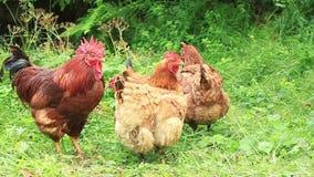 Famille de poulet banque de vidéos