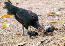 Famille de poulet noire et blanche Photo stock