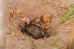 Famille de poulet sur Don Det Image libre de droits