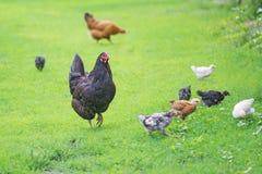 Famille de poulets dehors Images libres de droits
