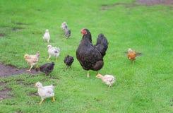 Famille de poulets sur une promenade Images stock