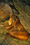 Famille de puma dans le repaire images libres de droits
