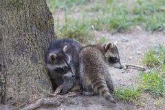 Famille de raton laveur Photo libre de droits