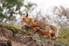 Famille de renard rouge Photo stock