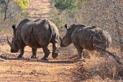 Famille de rhinocéros Image stock