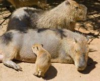 Famille de rongeur de Capybara Images libres de droits