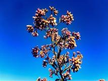 Famille de Senecio, fleur sauvage, coton comme la fleur image libre de droits