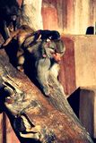Famille de singe Images stock