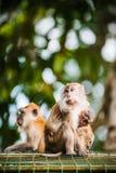 Famille de singe Photographie stock libre de droits
