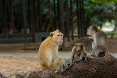 Famille de singe Photos stock
