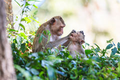 Famille de singe (Crabe-mangeant le macaque) Photo libre de droits