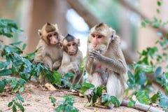 Famille de singe (Crabe-mangeant le macaque) Images libres de droits