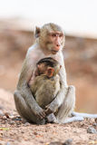 Famille de singe (Crabe-mangeant le macaque) Photo stock