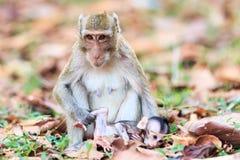Famille de singe (Crabe-mangeant le macaque) Photos libres de droits