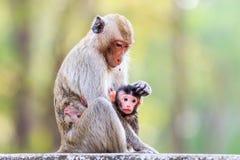 Famille de singe (Crabe-mangeant le macaque) Image stock