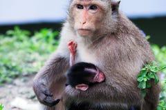 Famille de singe de mère et d'enfant Photos libres de droits