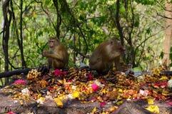 famille de singe de macaca mangeant le sort de fruits, Phuket Thaïlande Image stock