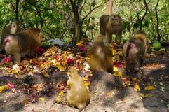 famille de singe de macaca mangeant le sort de fruits, Phuket Thaïlande Image libre de droits