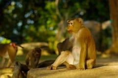 famille de singe de macaca mangeant le sort de fruits, Phuket Thaïlande Images stock