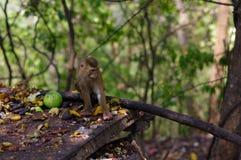 famille de singe de macaca mangeant le sort de fruits, Phuket Thaïlande Photographie stock libre de droits