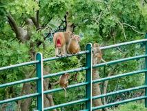 Famille de singe sur des balustrades à l'Indore-Inde d'automne de l'eau de Tincha photos libres de droits